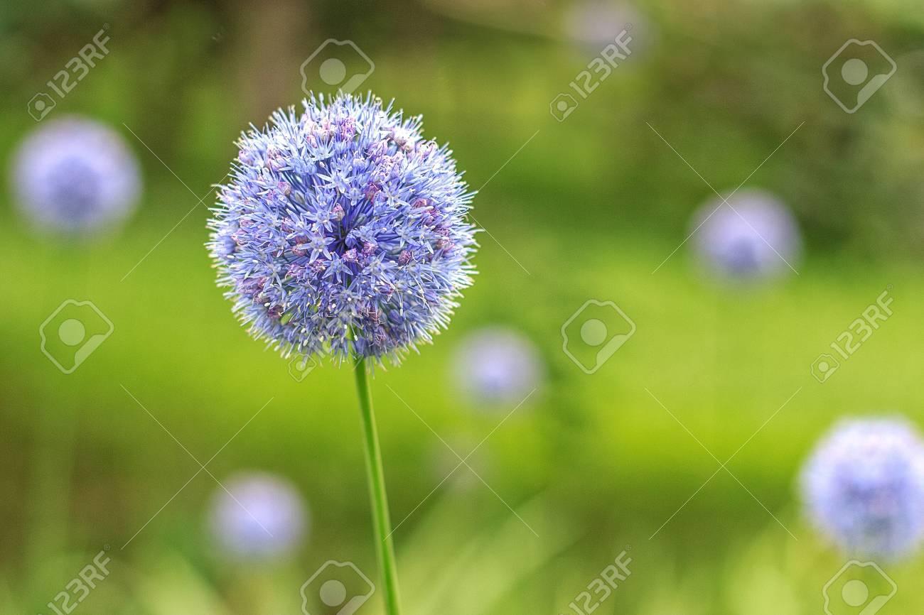 Royal Caeruleum Allium Blue Flower Of Globular Shape Flowers