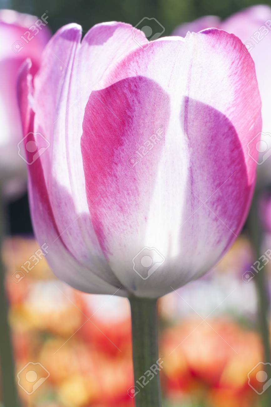 Delicate spring flower tulip stock photo picture and royalty free delicate spring flower tulip stock photo 78051809 mightylinksfo