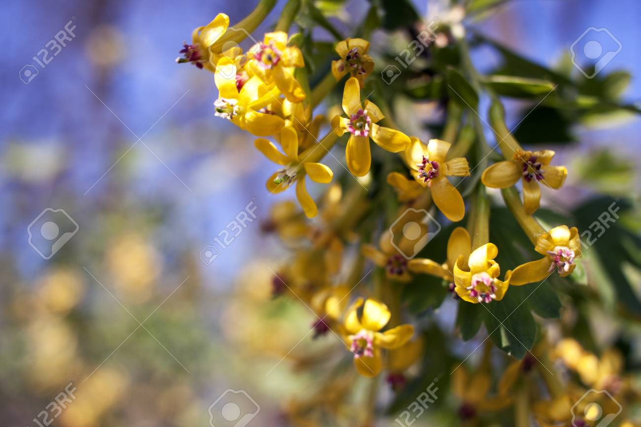 Yellow Flowers Of Golden Currant Ribes Aureum Stock Photo Picture