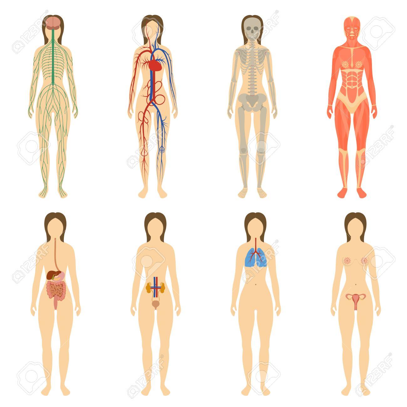 Set Von Menschlichen Organen Und Systemen Des Körpers Vitalität ...