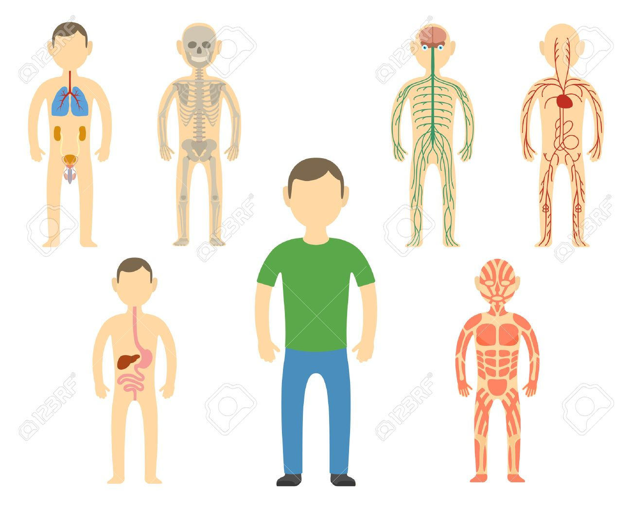 Cartoon man body anatomy. All body systems - Urogenital, Respiratory, Nervous, Circulatory, Skeleton, Digestive and Muscular systems. Vector illustration - 54881576