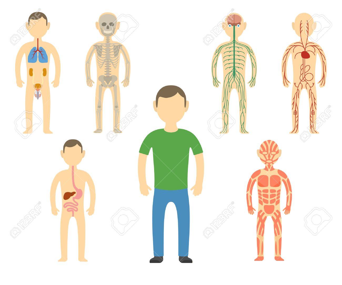 Cartoon Man Body Anatomy. All Body Systems - Urogenital, Respiratory ...