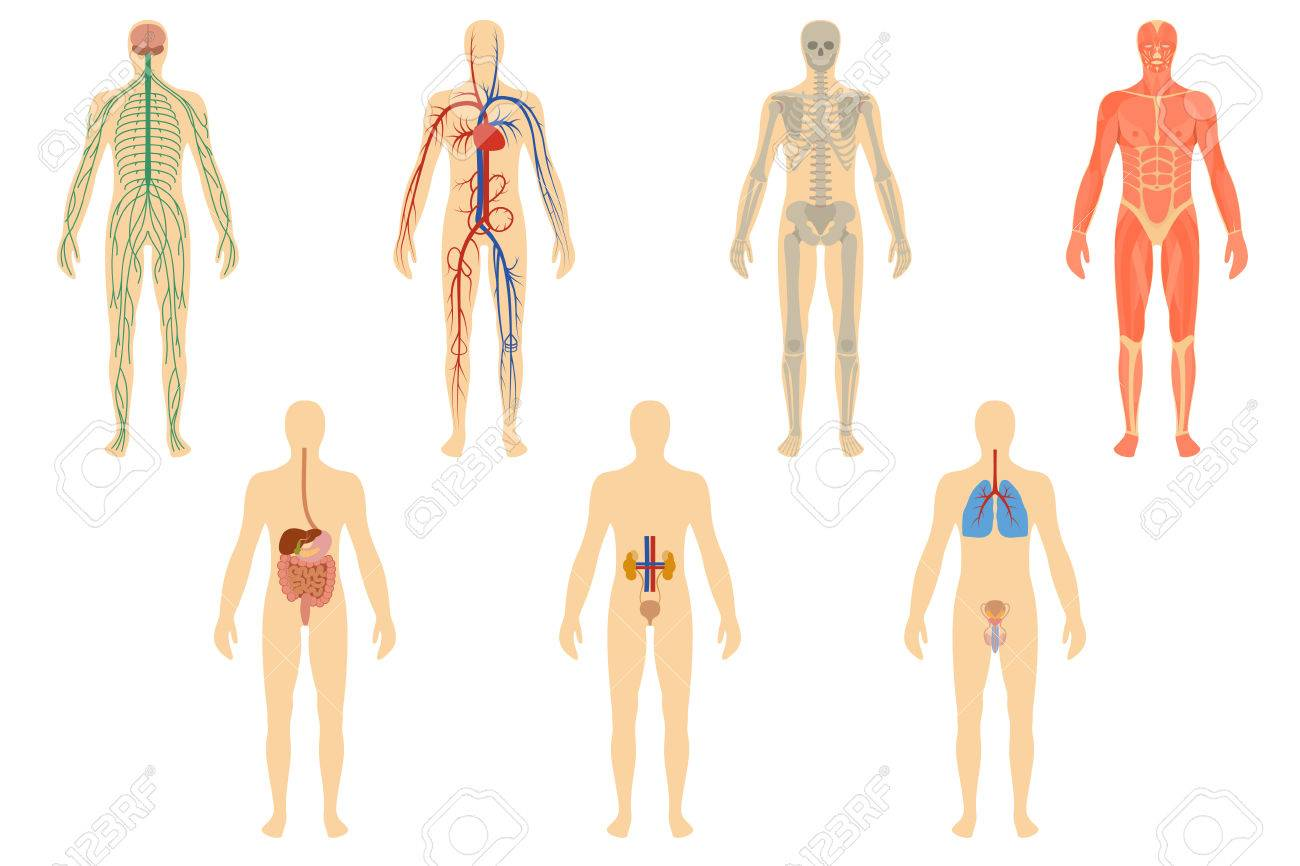 Set Of Human Organs And Systems Of The Body Vitality Royalty Free