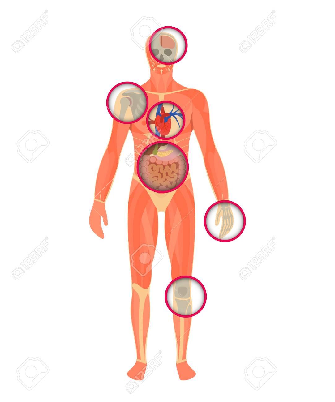 Die Struktur Des Menschlichen Körpers - Ein Blick Durch Den Scanner ...