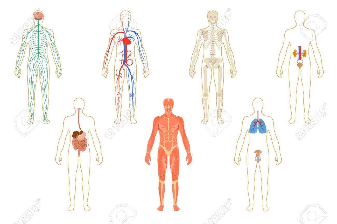 Set Of Human Organs And Systems Of The Body Vitality Vector