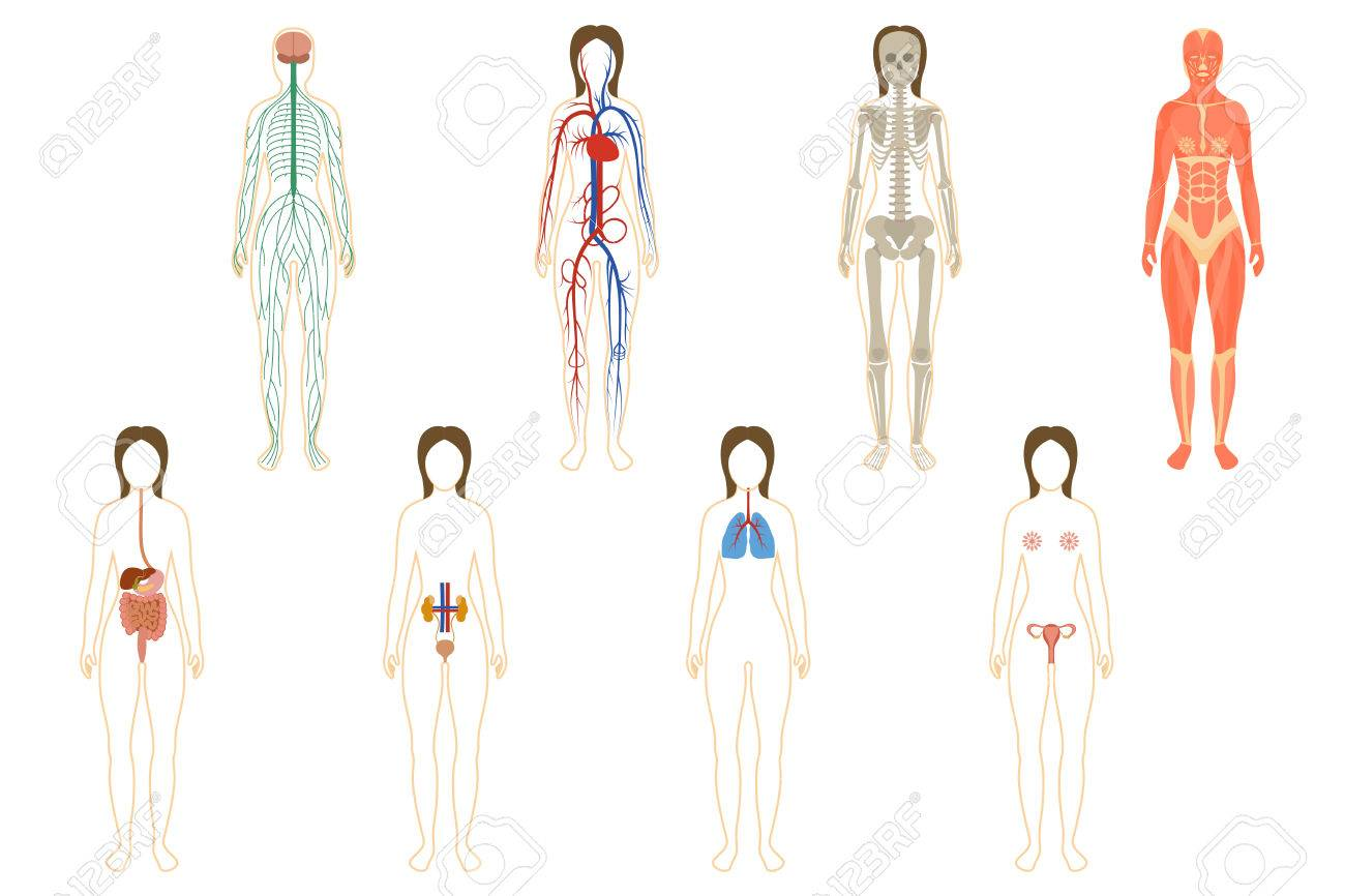 Set Of Human Organs And Systems Of The Body Vitality. Vector ...