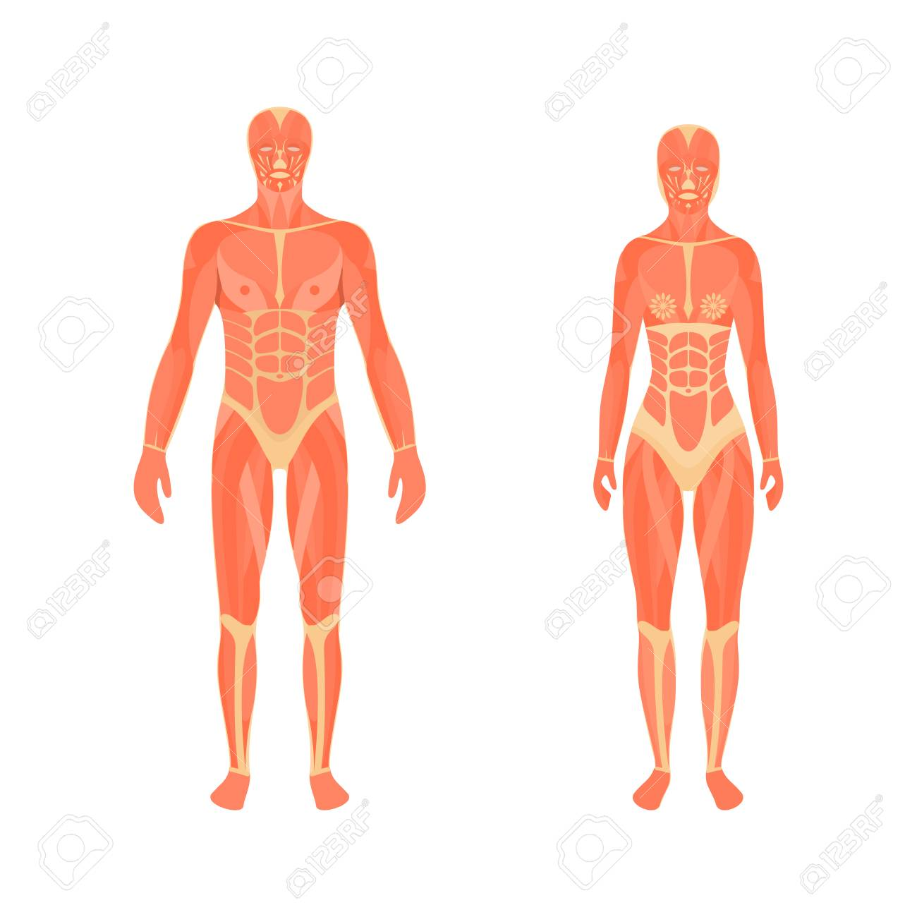 Illustration Of The Male And Female Muscular System Royalty Free ...