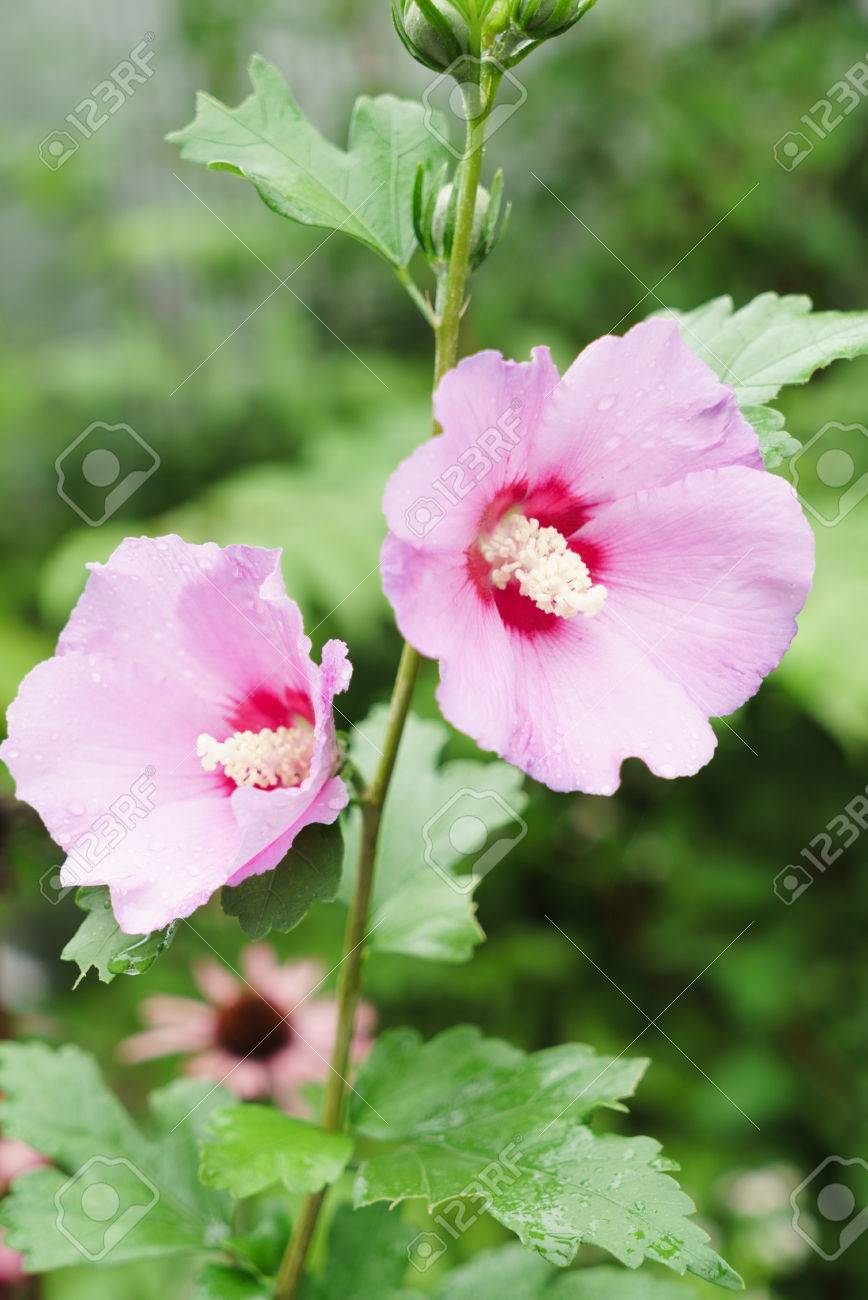 Rose Of Sharon Hibiscus Syriacus Stock Photo Picture And Royalty