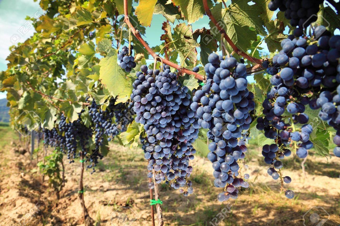rows of wine grapes in chianti area, tuscany. Italy Stock Photo - 10894648