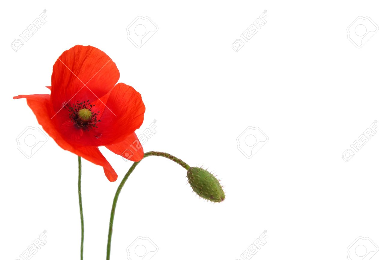 Single Decorative Red Poppy Flower On White Background Stock Photo