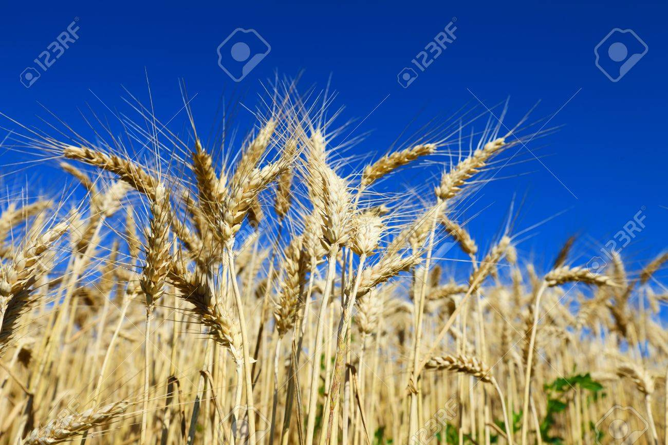Golden wheat field against blue sky Stock Photo - 14309161