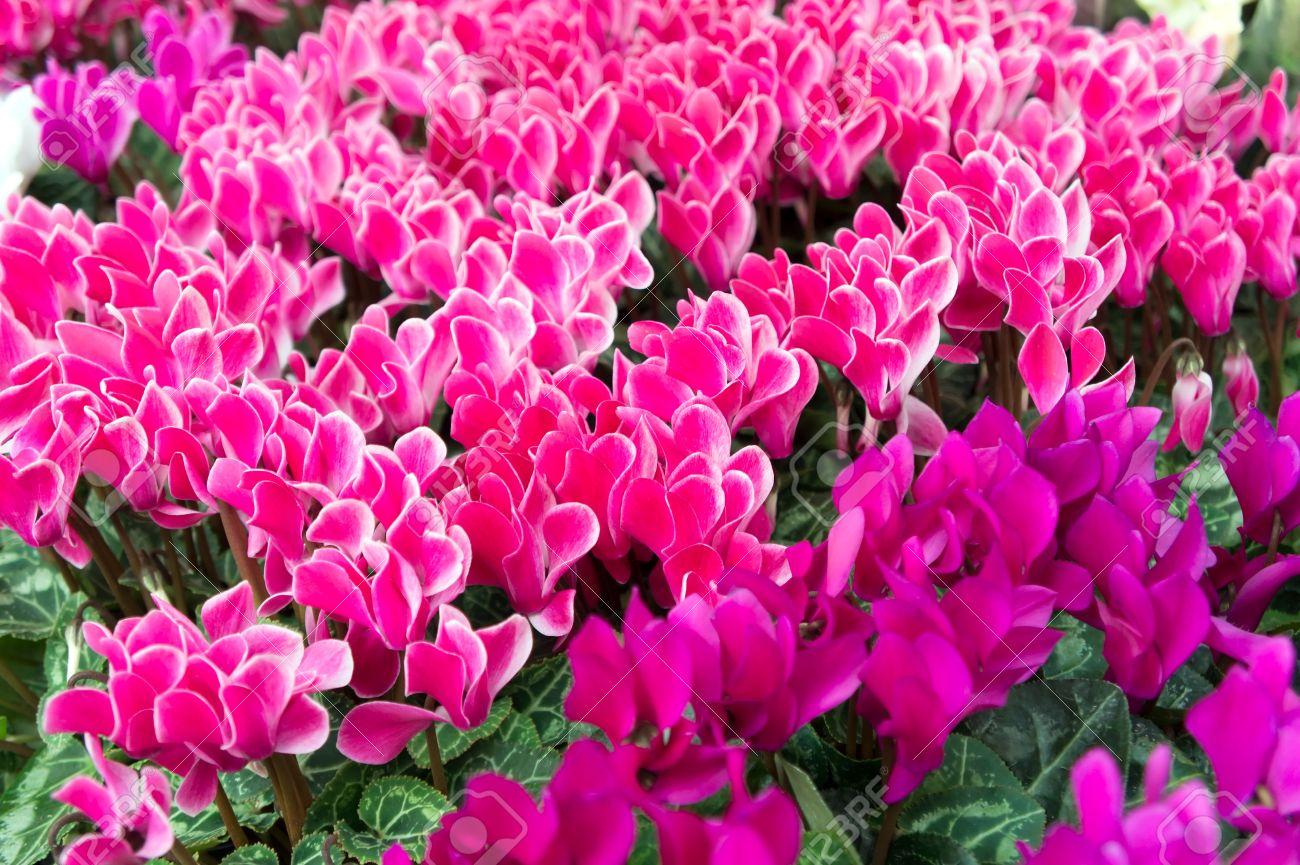Cyclamen Purple Purple Cyclamen Flowers
