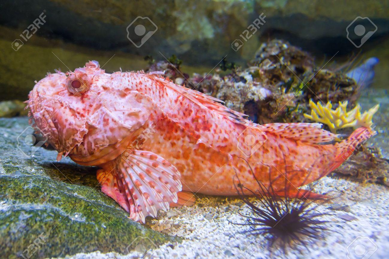 red sea scorpion fish underwater Stock Photo - 19634165