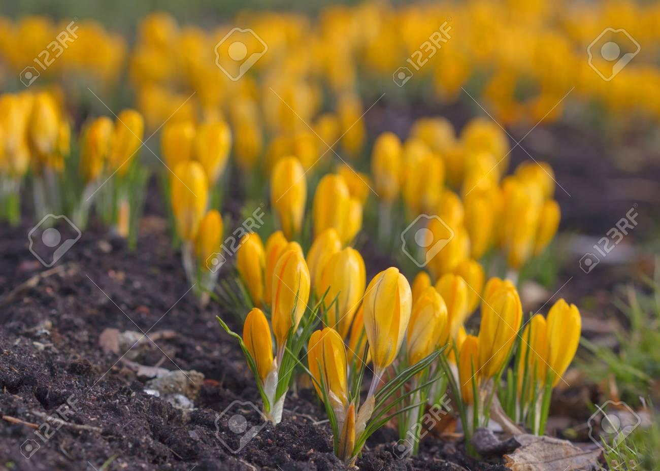 Beautiful Yellow Rocus Flower Early Spring Flowers Lizenzfreie