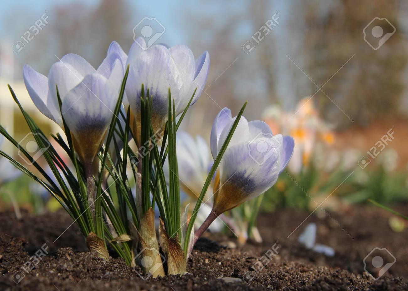 Beautiful Light Violet Crocus Flowers Early Spring Flowers