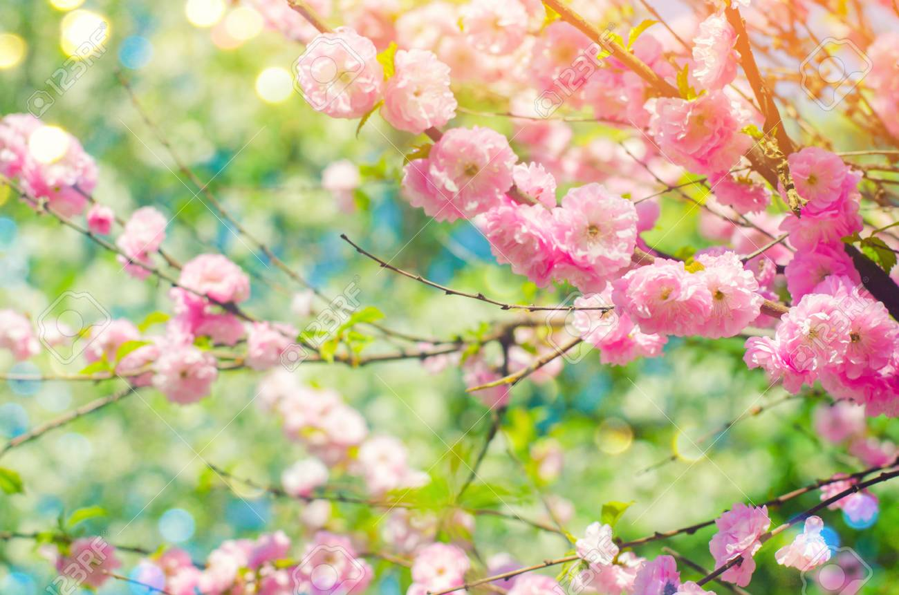 Pink Bush Blossoms In Spring With Pink Flowers Natural Wallpaper