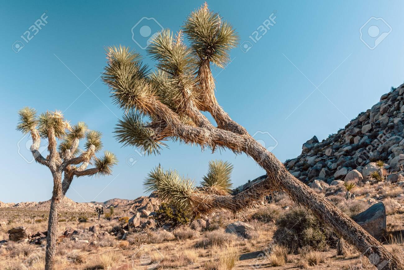 Joshua Tree Yucca Brevifolia In Mojave Desert Joshua Tree