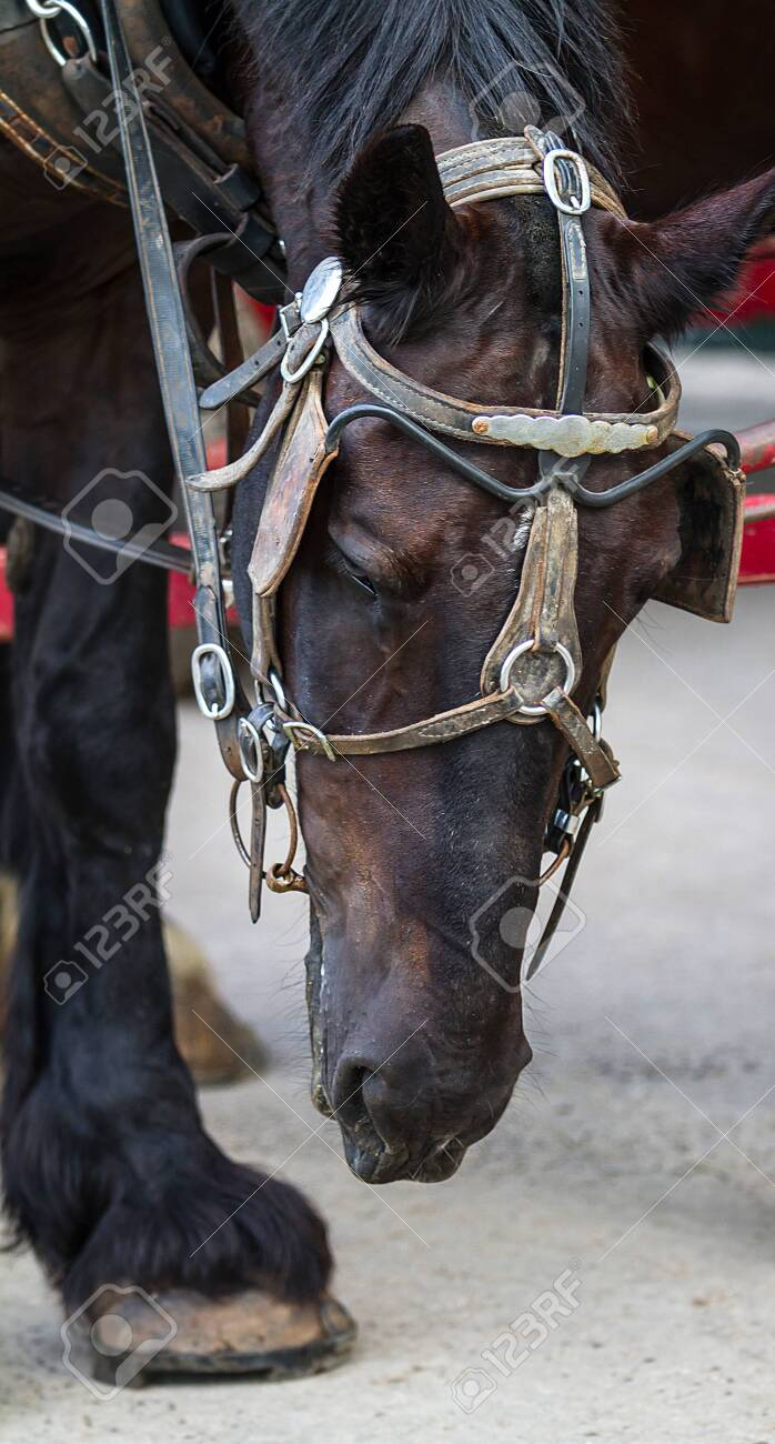 Close Up Photograph Of Brown And Black Horse Head Looking Down Stock Photo Picture And Royalty Free Image Image 149246067