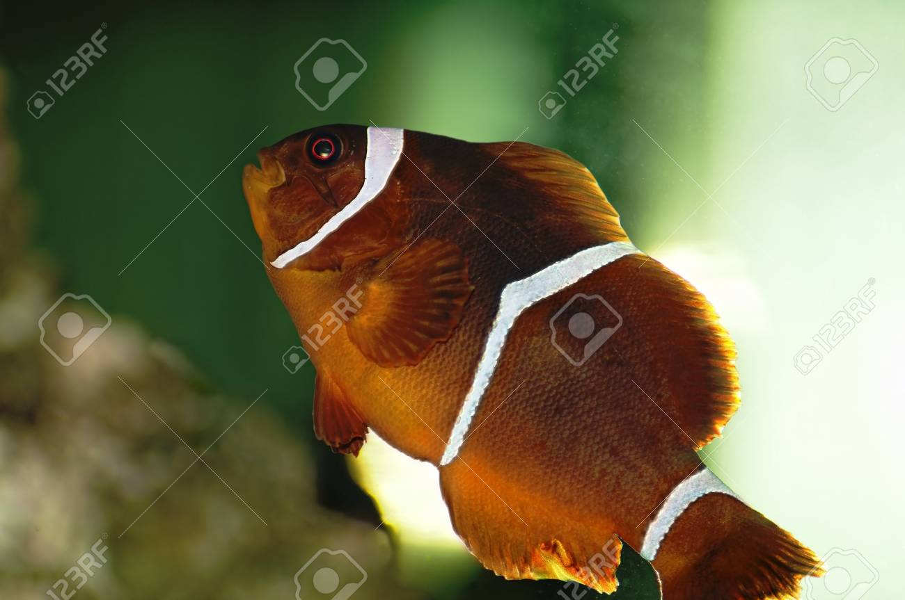 Clown Fish Stock Photo - 8157912