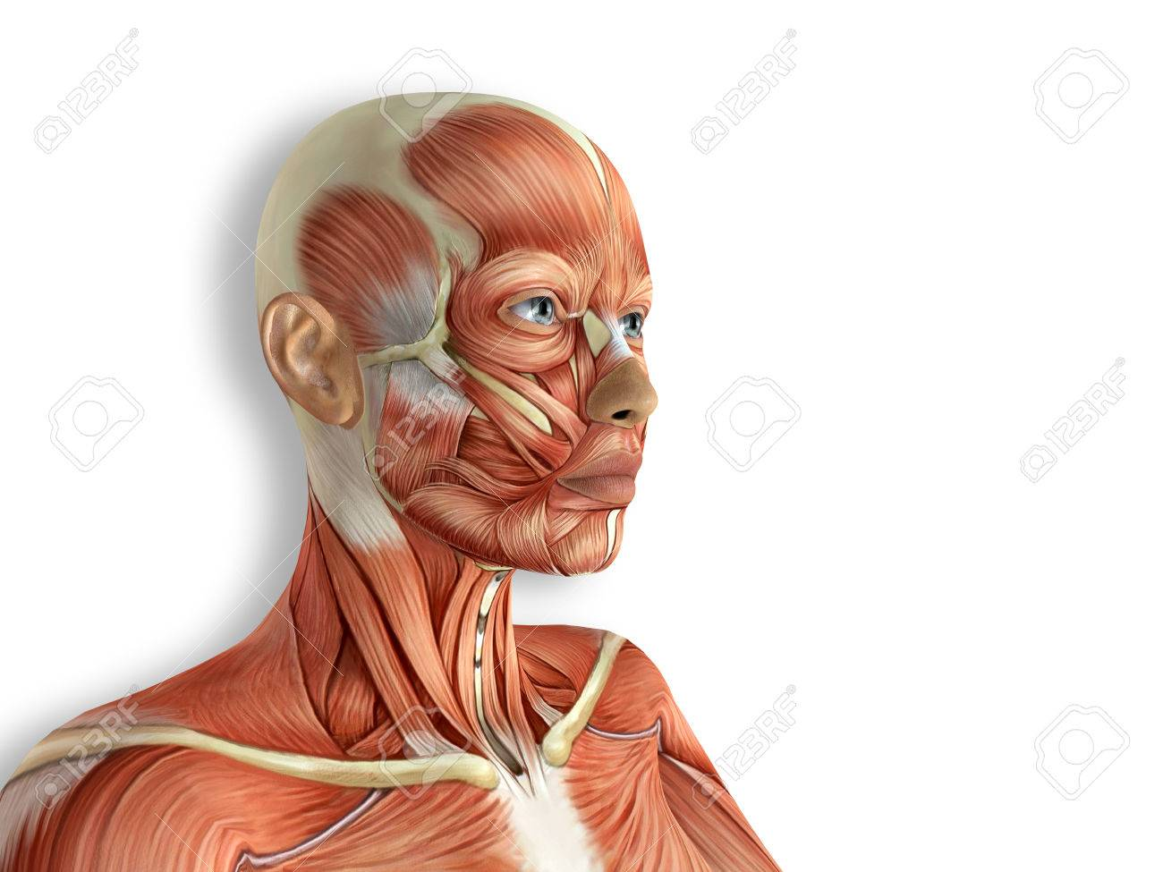 Female Face Muscles Anatomy 3d Rendered Illustration Stock Photo