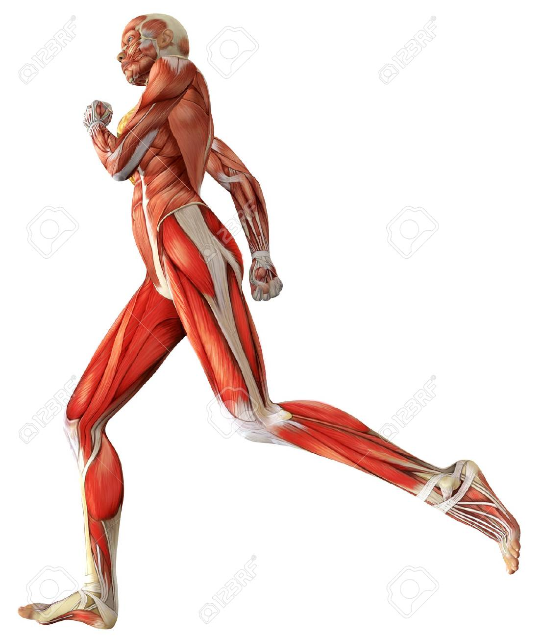 3D Female Medical Figure Showing Active Muscles When Running Rendered Illustration Stock