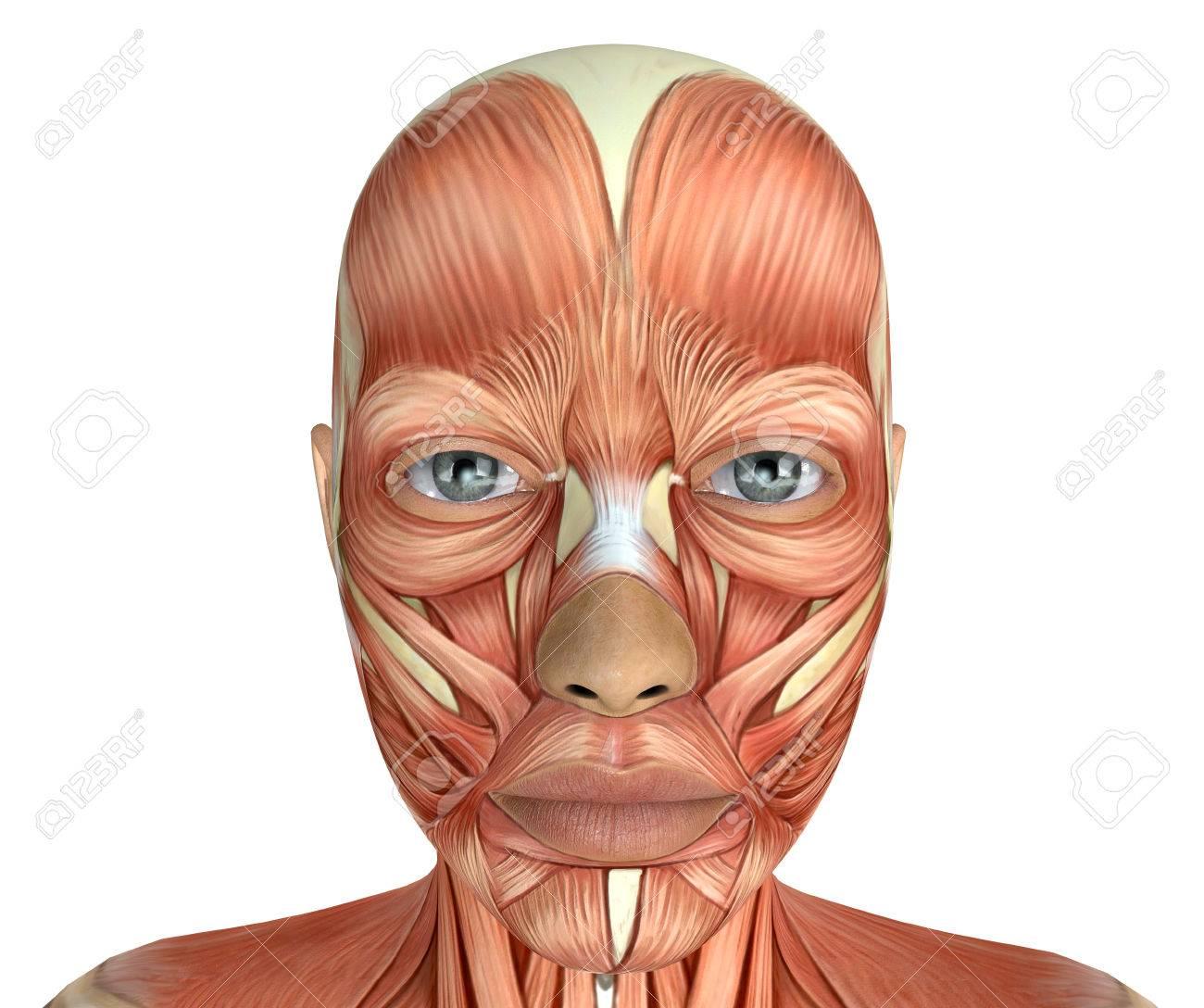 Los Músculos De Cara Femenina Anatomía 3d Rindió La Ilustración ...