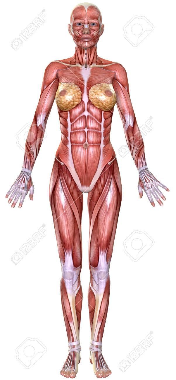 Wonderlijk 3D Vrouwelijk Lichaam Anatomie Op Wit Wordt Geïsoleerd Royalty BR-18