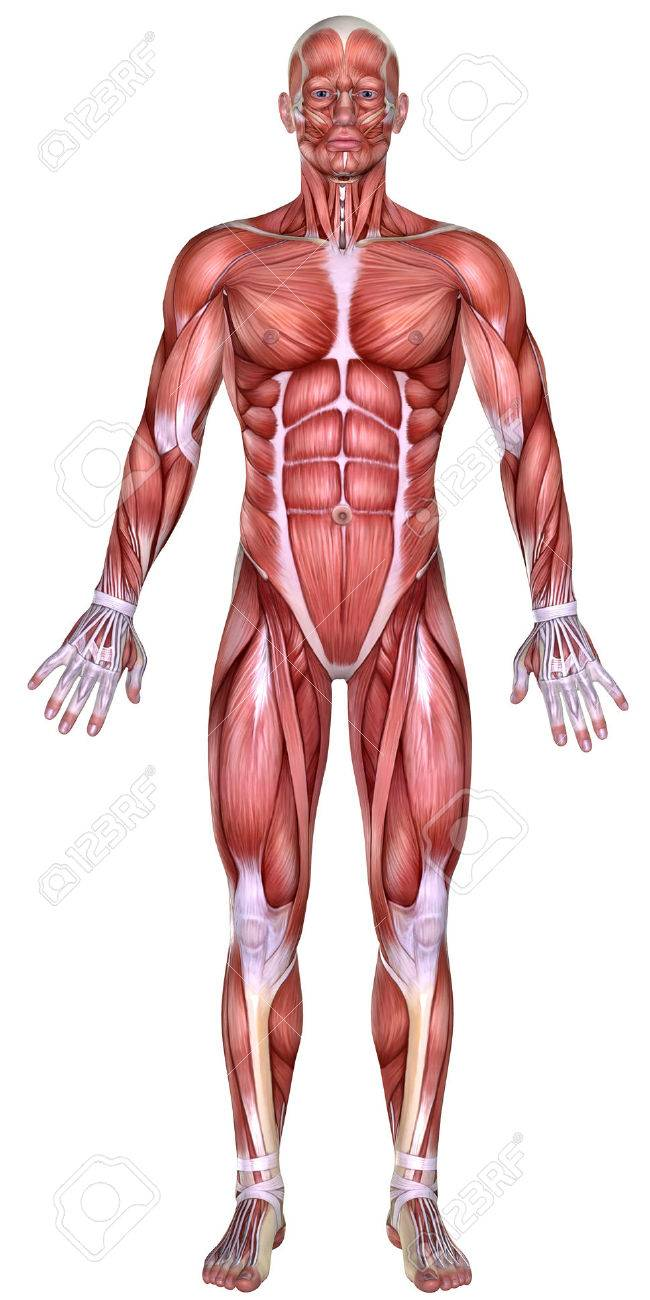3d Male Body Anatomy Isolated On White Stock Photo Picture And