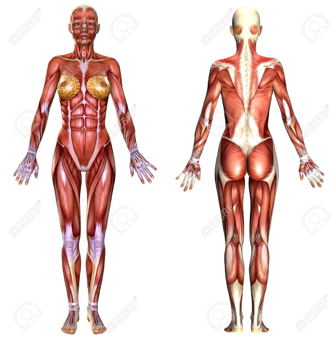 3D Anatomía Del Cuerpo Femenino Aislado En Blanco Fotos, Retratos ...