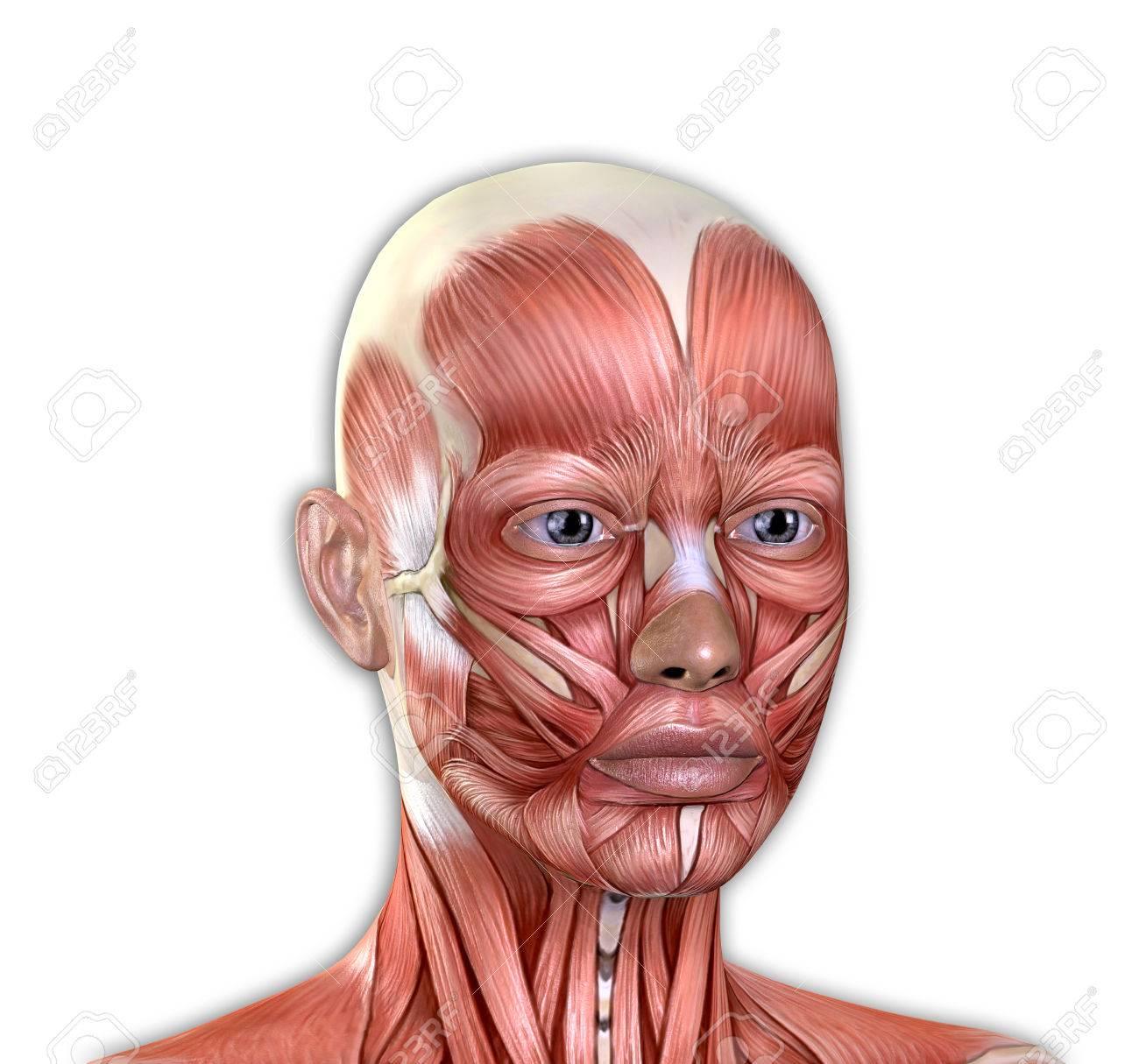 Los Músculos De La Cara Femenina De La Anatomía Aislado En El Fondo ...