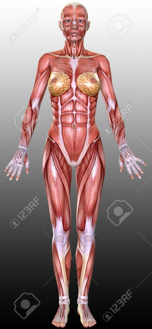 3D Female Body Anatomy Illustration Stock Photo, Picture And Royalty ...