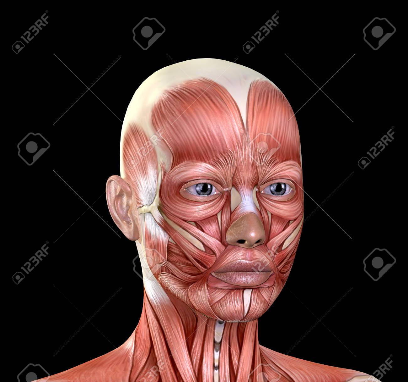 Female Face Muscles Anatomy Isolated On Black Background Stock Photo ...