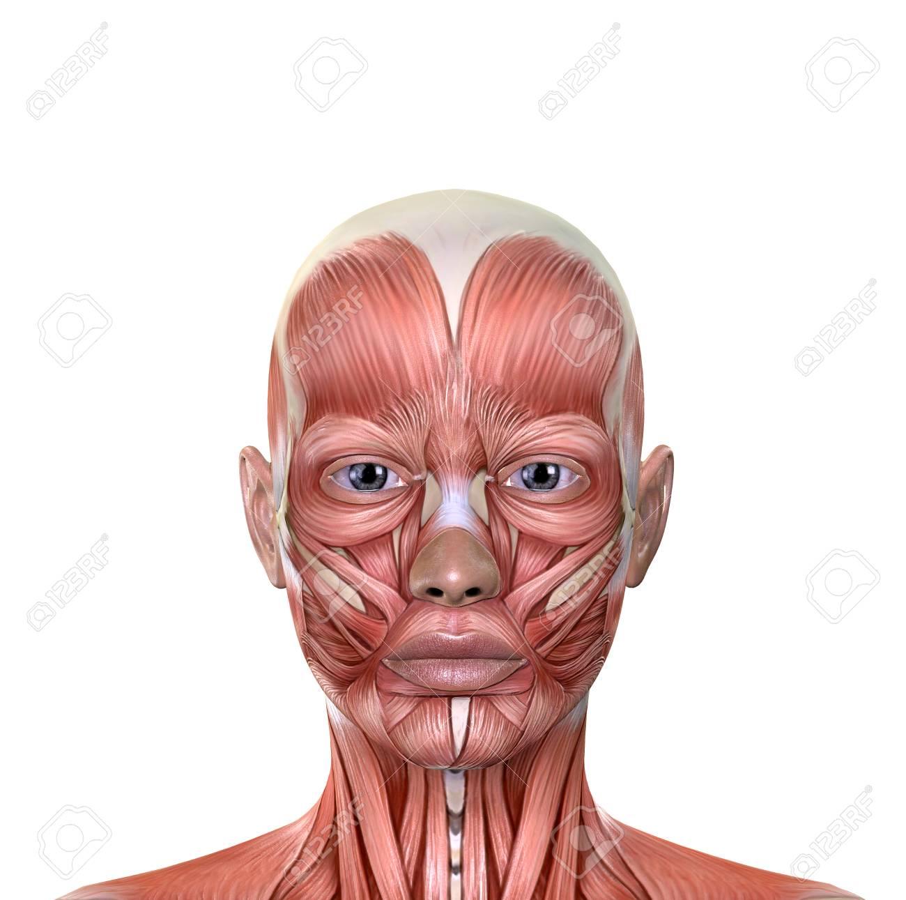 Weibliches Gesicht Muskeln Anatomie Isoliert Auf Weißem Hintergrund ...
