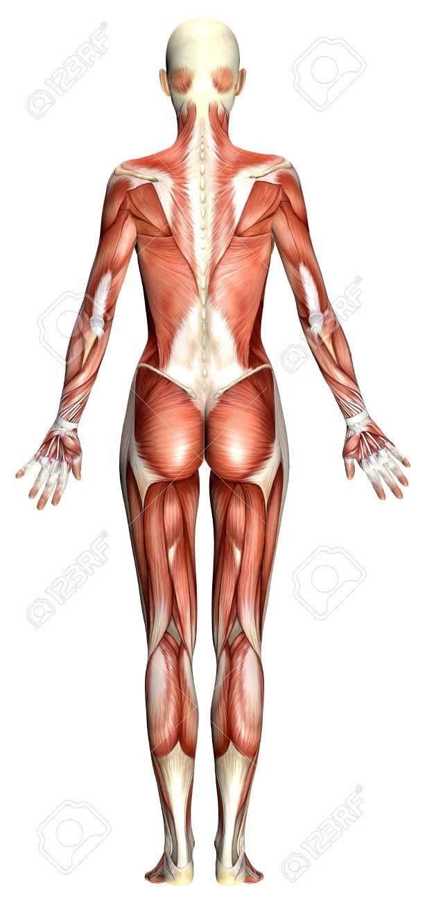 3D Weiblichen Körper Anatomie Isoliert Auf Weiß Lizenzfreie Fotos ...