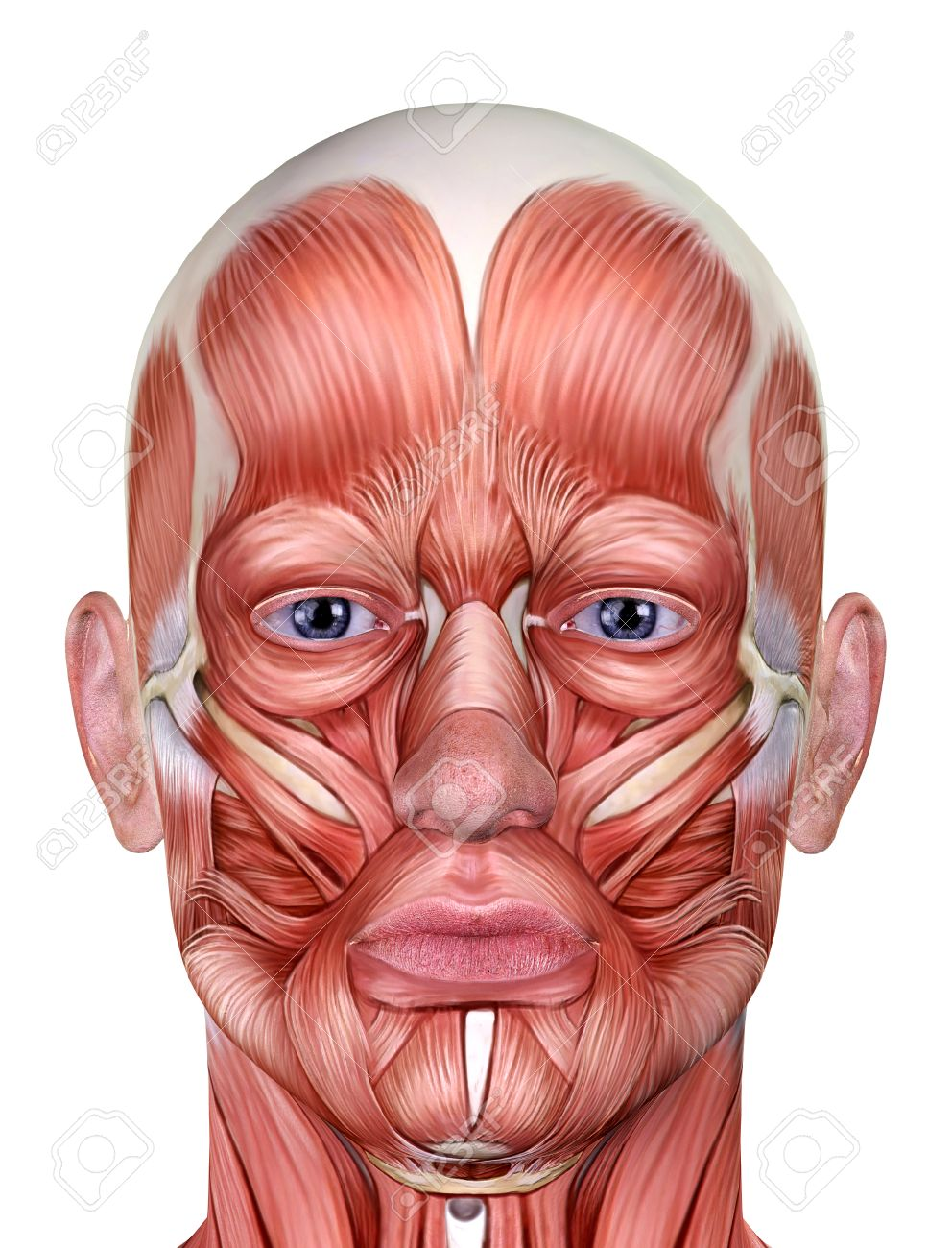 Male Face Muscles Anatomy Isolated On White Stock Photo, Picture And ...