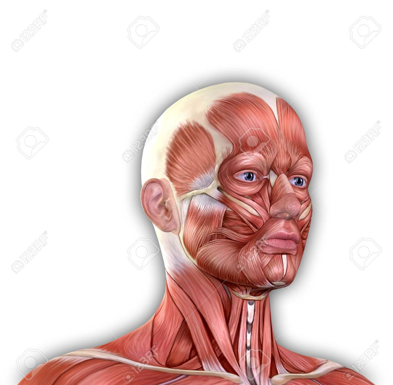 Männliches Gesicht Muskeln Anatomie Isoliert Auf Weiß Lizenzfreie ...