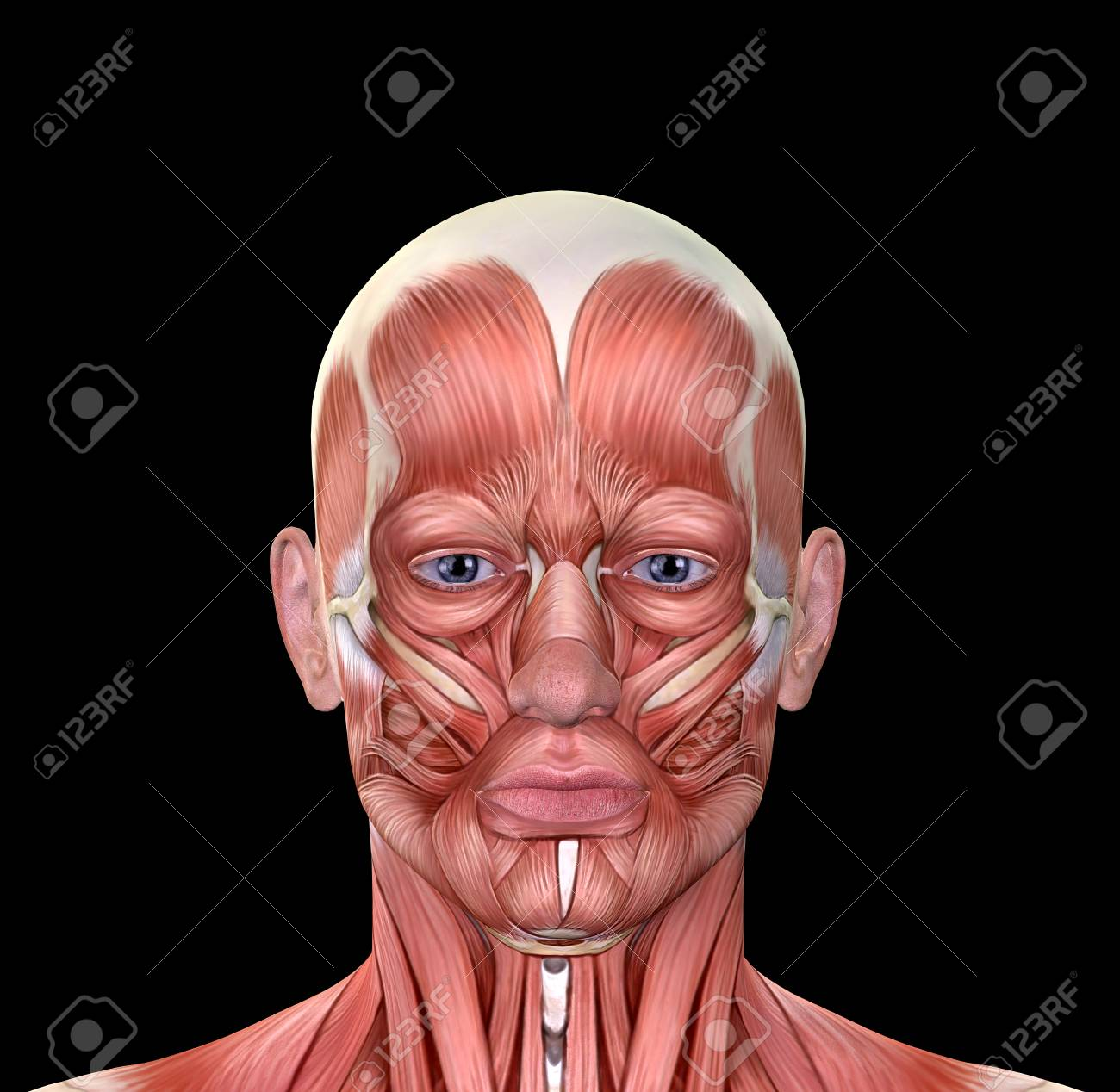 Male Face Muscles Anatomy Isolated On Black Stock Photo, Picture And ...