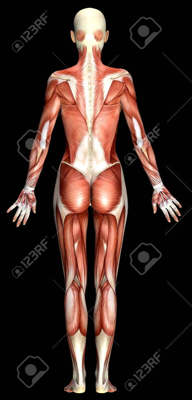 3D Female Body Anatomy Isolated On Black Stock Photo, Picture And ...
