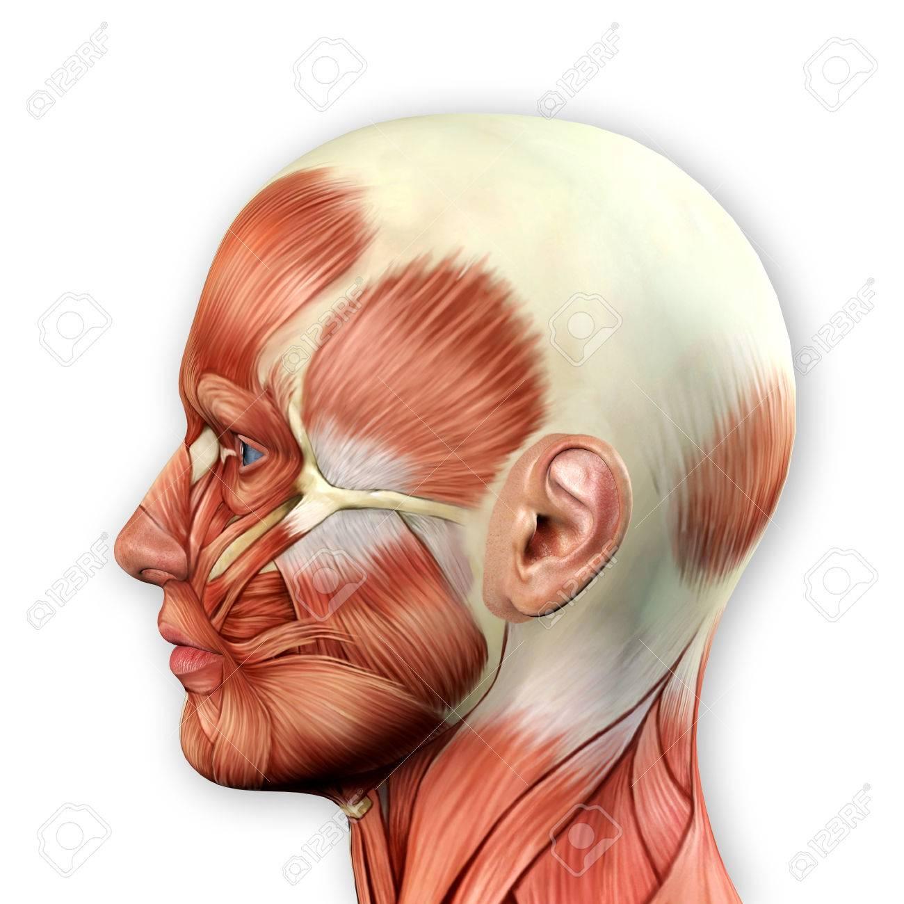 Männliches Gesicht Muskeln Anatomie 3D-Darstellung Lizenzfreie Fotos ...
