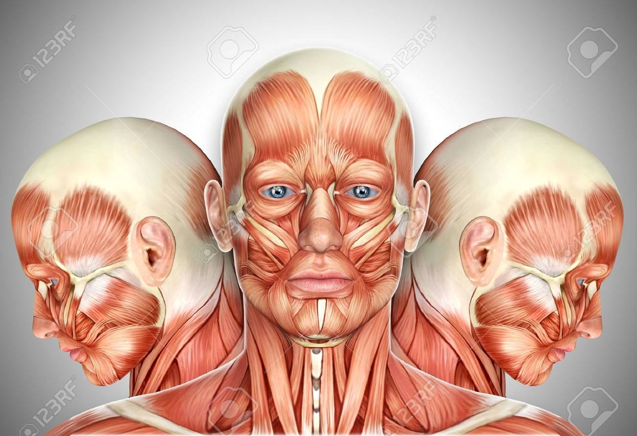 3d Male Face Muscles Anatomy With Side Views Stock Photo, Picture ...