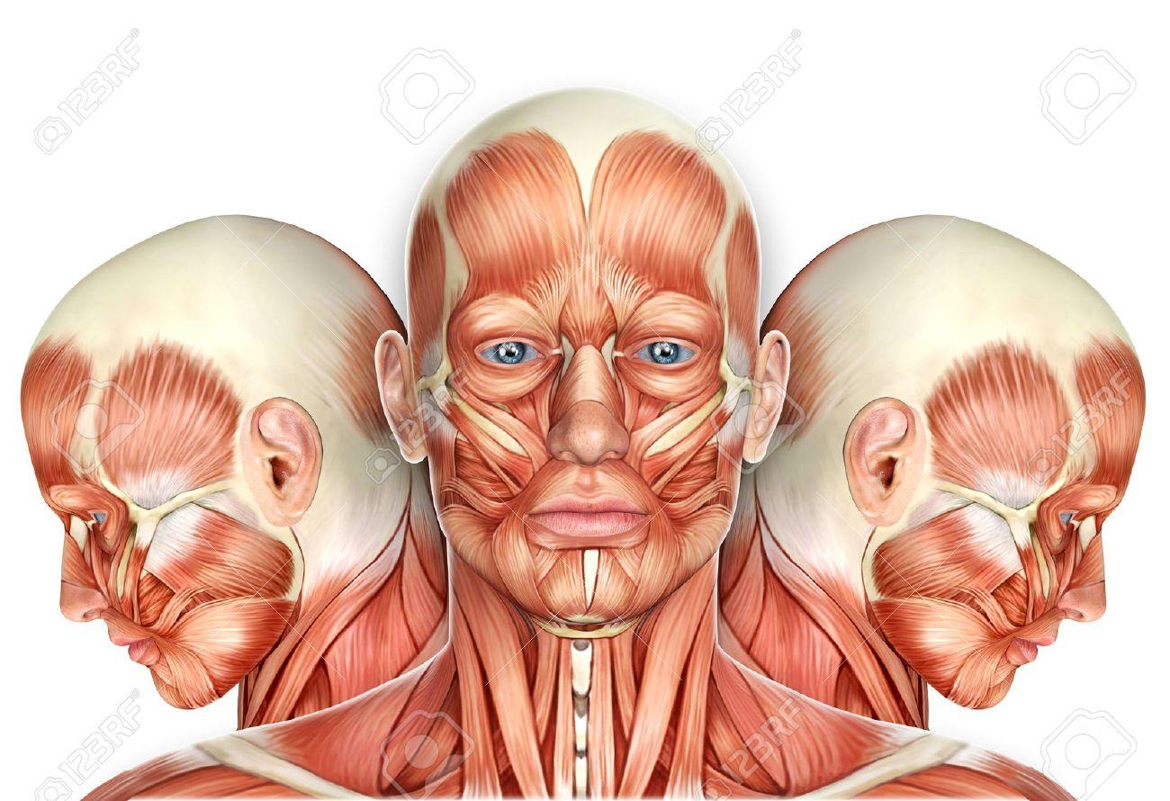 3d Männliches Gesicht Muskeln Anatomie Mit Seitenansichten ...