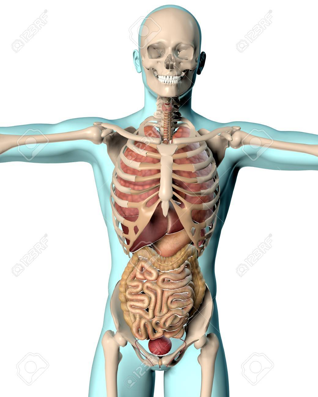 3D Render Of A Medical Image Of A Male Figure Showing Internal ...
