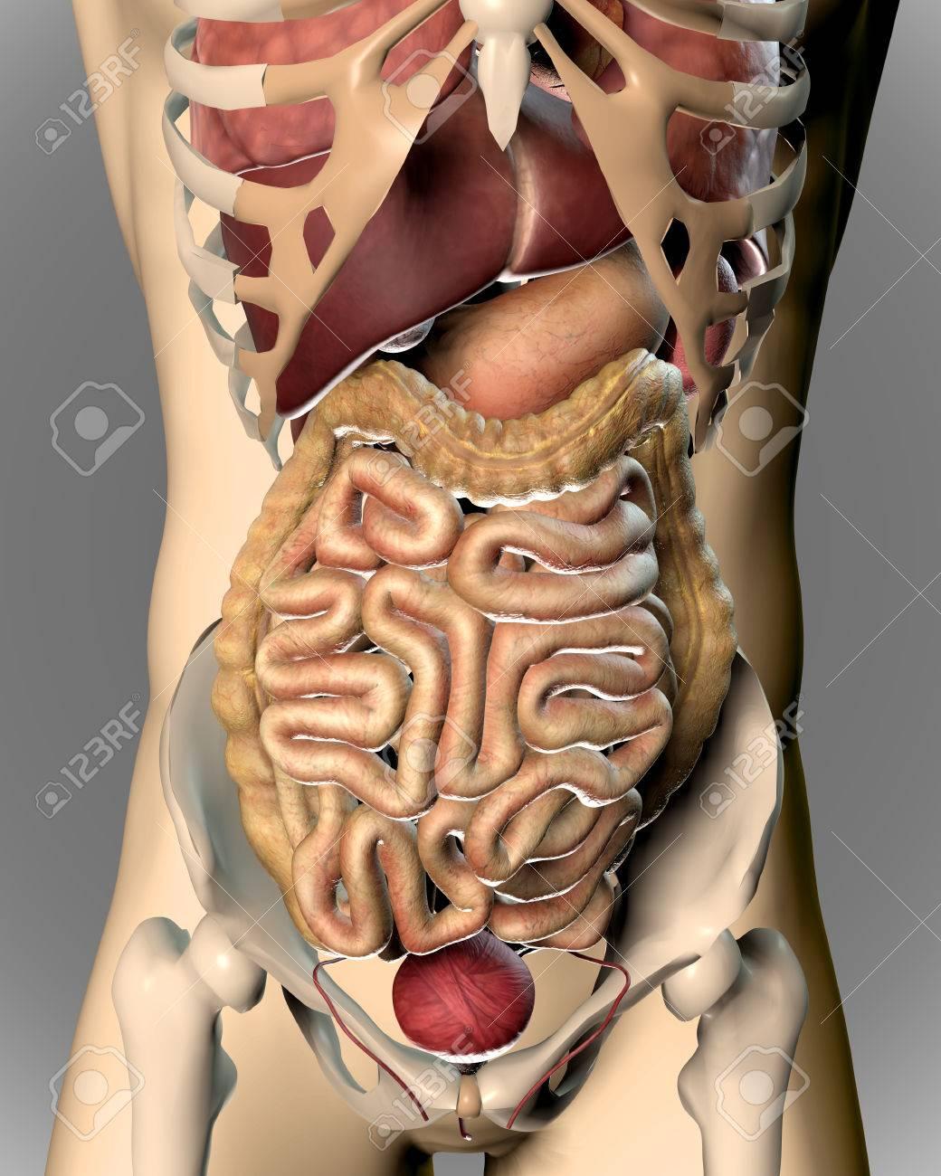 Großzügig Männliche Körperbild Organe Bilder - Menschliche Anatomie ...