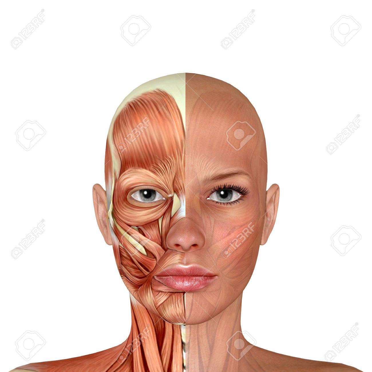 3d Female Face Muscles Anatomy Stock Photo, Picture And Royalty Free ...
