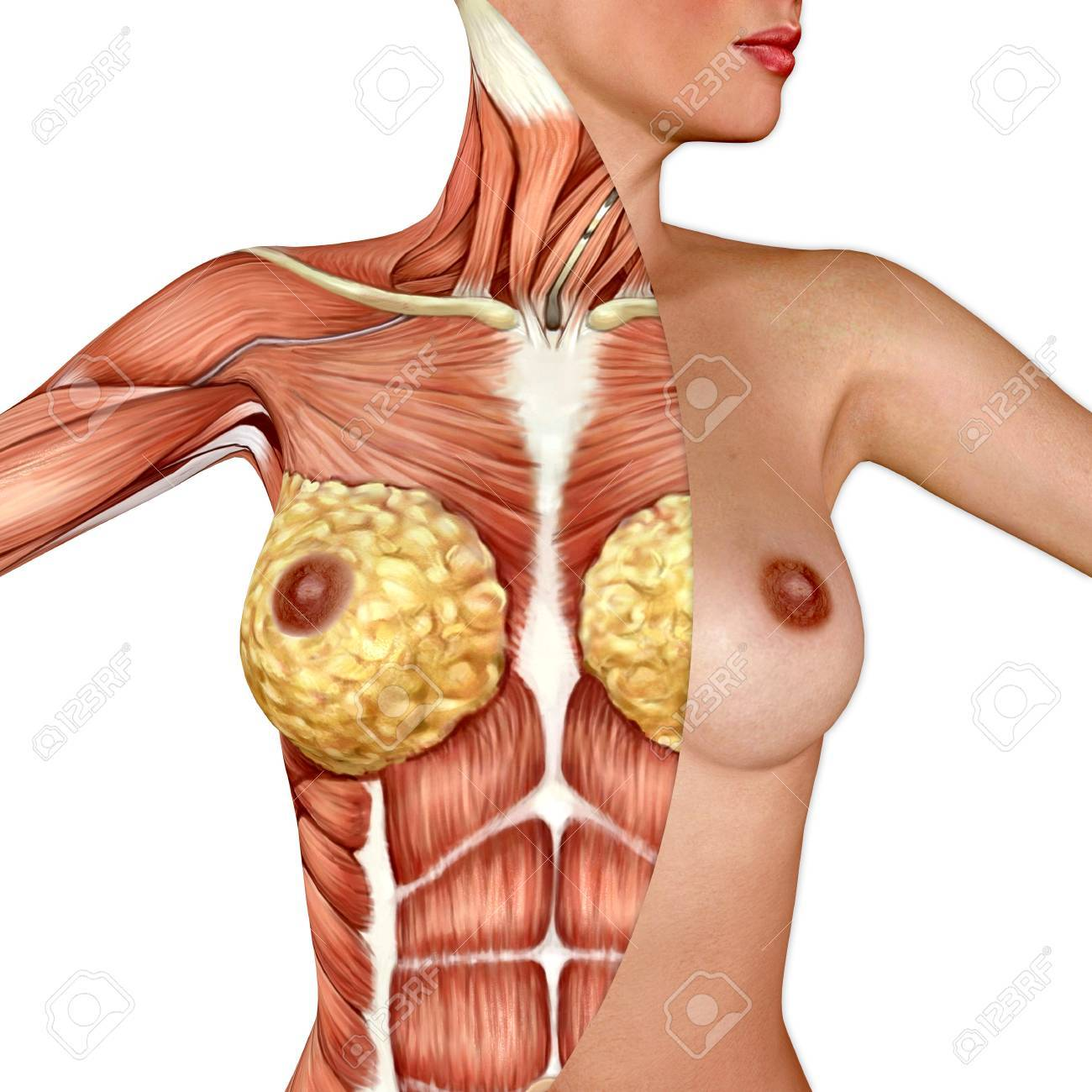 3d Anatomy Of The Female Breast Stock Photo, Picture And Royalty ...
