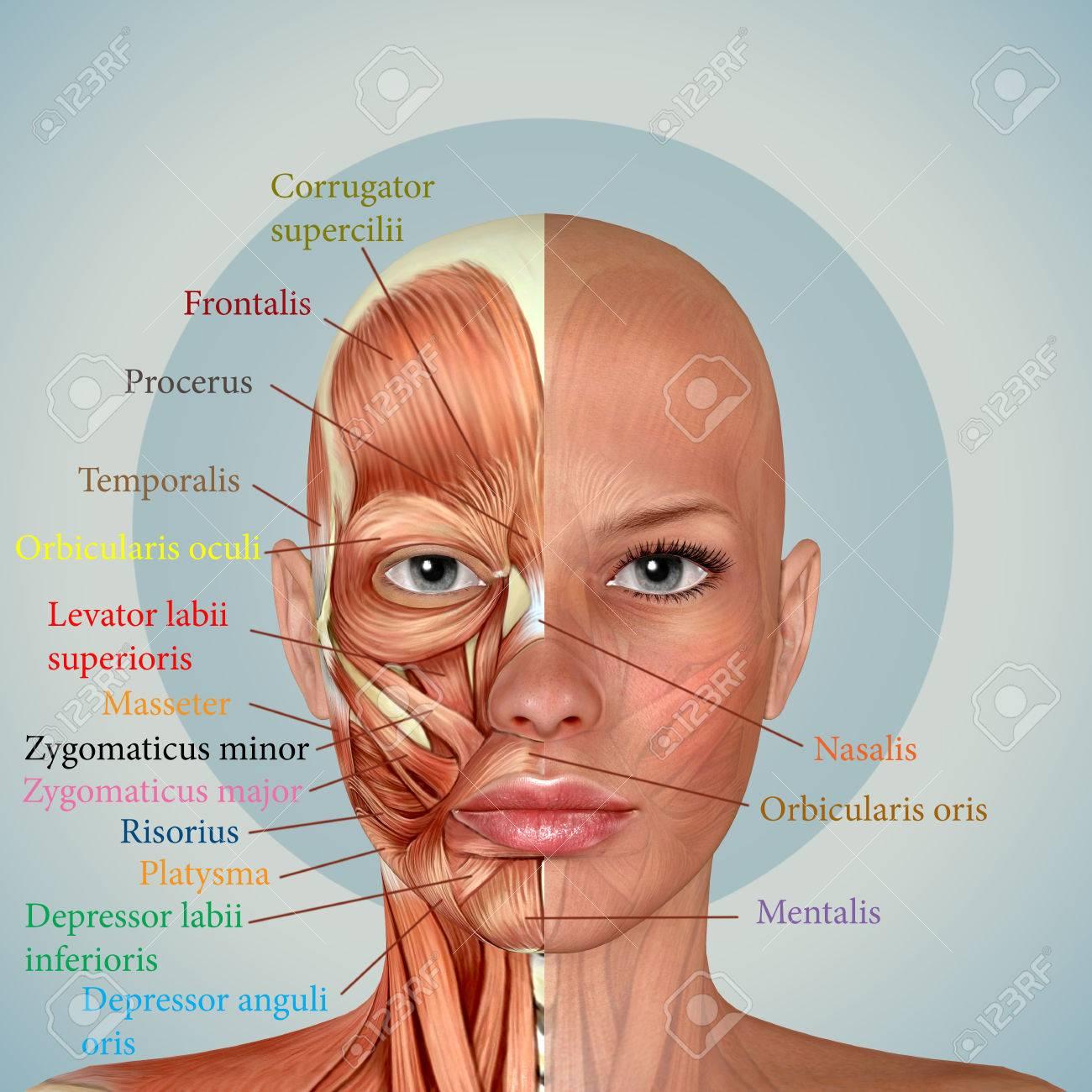 3d Cara Femenina Anatomía Músculos Fotos, Retratos, Imágenes Y ...