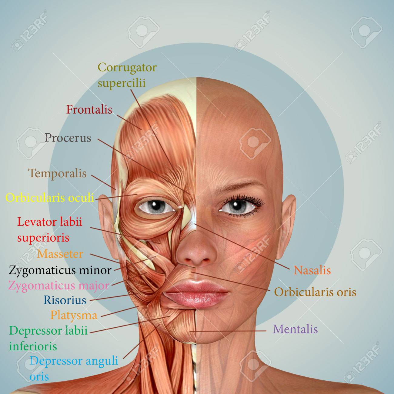 3d Female Face Muscles Anatomy - 70760537