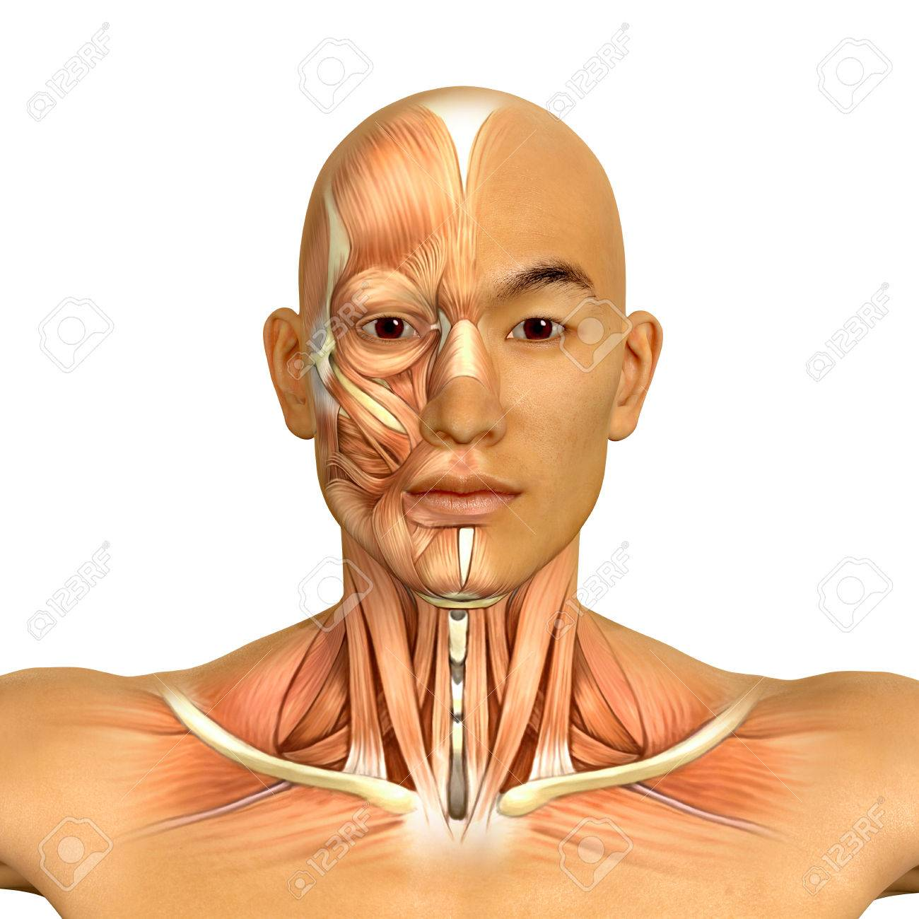 3d Asian Male Model Face And Neck Muscles Anatomy Stock Photo