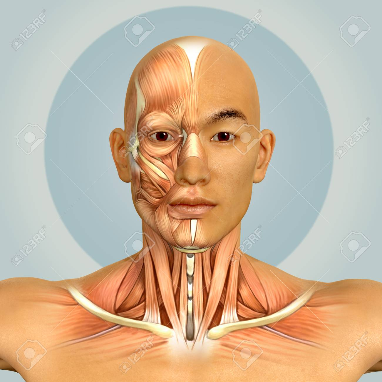 3d Asian Male Model Face And Neck Muscles Anatomy Stock Photo ...