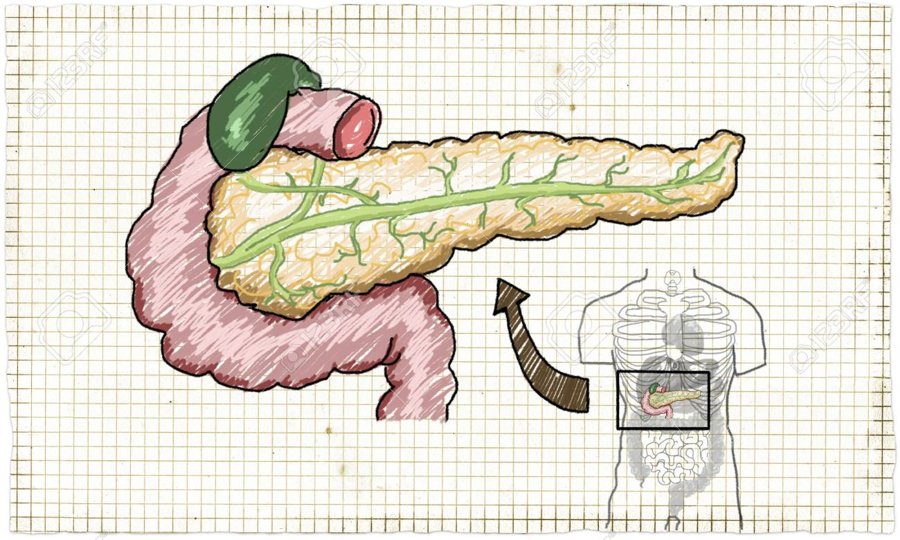 Anatomy Illustration Where Pancreas Is Located In Human Body Stock